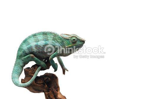 Blue Panther chameleon isolated on white background : Stock Photo