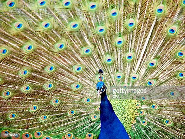 A blue peafowl shows its feathers on April 16 2013 at the zoo 'Wilhelma' in Stuttgart Germany AFP PHOTO / CHRISTOPH SCHMIDT GERMANY OUT