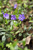 Blue periwinkle flower. Wild Vinca Periwinkle. Spring forest