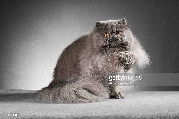 Blue persian cat lifting paw