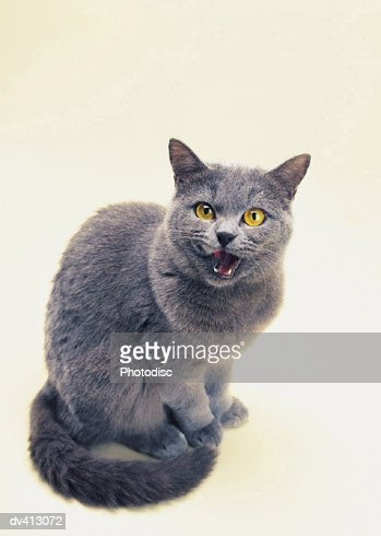 Blue Persian sitting, mouth open : Stock Photo