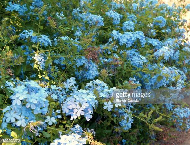 Blue plumbago in bloom