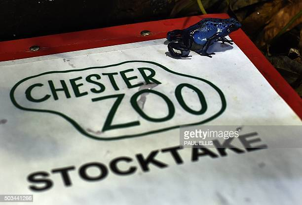 A Blue Poison Dart Frog sits on a clipboard during the annual stocktake photocall at Chester Zoo in Chester north west England on January 5 2016 The...