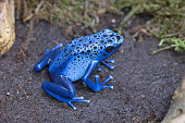 Blue poison-dart frog (Dendrobates tinctorius azureus), native to Suriname