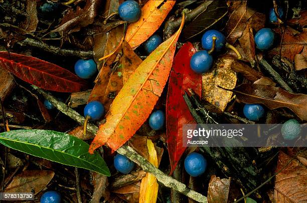 Blue quandong Elaeocarpus angustifolius blue fruits and colourful leaf fall decorating the deep leaf litter on subtropical rainforest floor Currumbin...