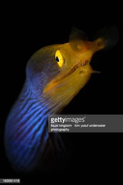 Blue ribbon eel portrait