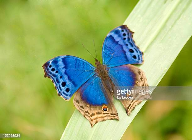 Borboleta azul Salamis