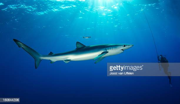 Blue shark and diver, Azores