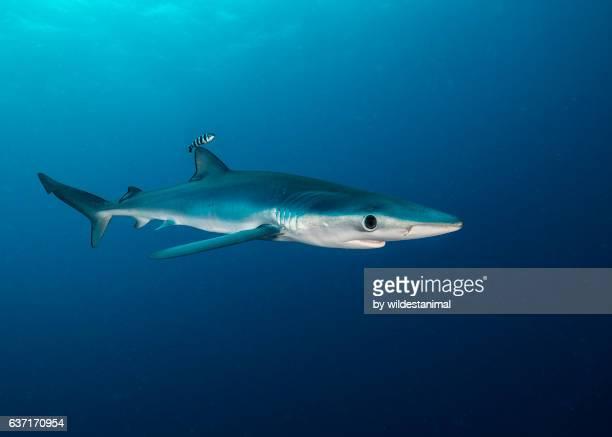 Blue Shark In Blue Water