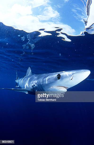 blue shark: prionace glauca  new zealand