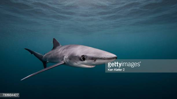 Blue Shark, underwater view, San Diego, California, USA
