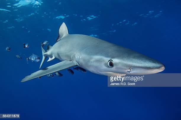 Blue Shark with pilot fish - Azores