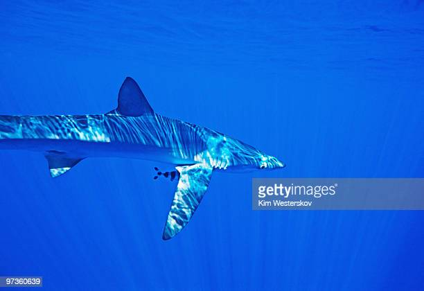Blue Shark with Pilot Fish in clear sunlit water