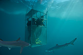 Blue sharks (Prionace glauca) circling divers in diving cage, underwater view (digital composite)
