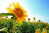 Blue sky and Sunflowers and solar