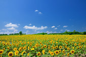 In summer, blue sky and sunflowers are the best combination.