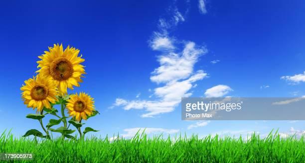 Blue sky, green grass and sunflowers