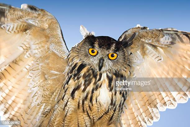 Blue sky over eagle owl flying and looking