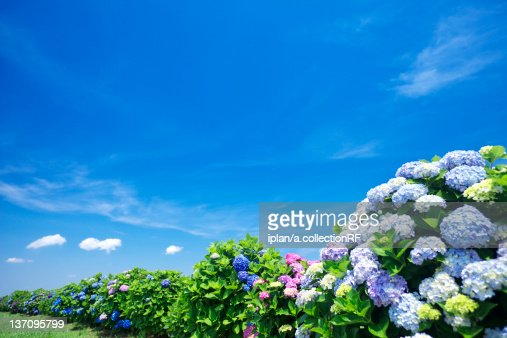 Blue Sky Over Hydrangea Flowers