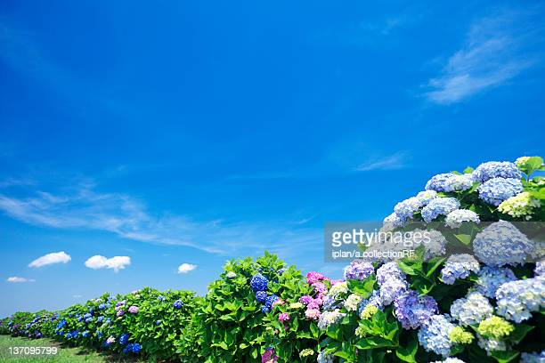 Blue Sky Over Hydrangea Flowers