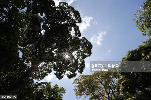 Blue sky visible from the gaps in the canopy of the rain forests French Guiana is haven for plants and animals with ninety percent of the area under...