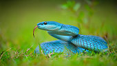 The white-lipped pit viper (Trimeresurus albolabris) is a venomous pit viper species endemic to Southeast Asia. Three subspecies are currently recognized, including the nominate subspecies described h