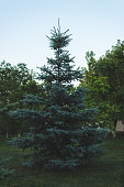 Blue spruce against the background of other green plants in the park.