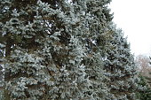 The blue spruce is a beautiful tree, coniferous and evergreen. Photographed in soft outdoor natural light. No people.