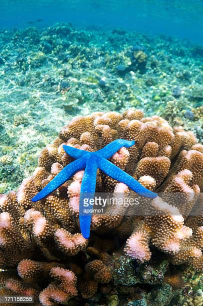 Blue Starfish on Coral