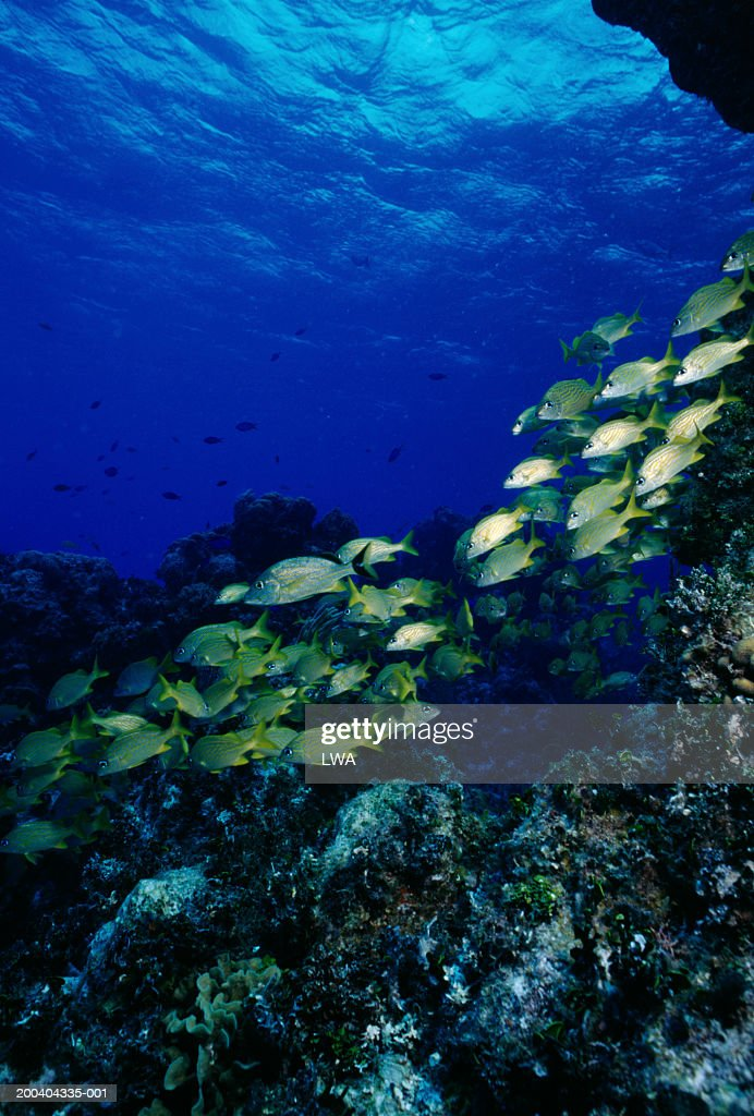 Blue striped grunts (Haemulon sciurus), underwater view : Stock Photo