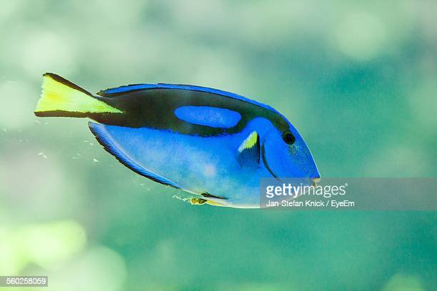 Blue Tang Fish In Water