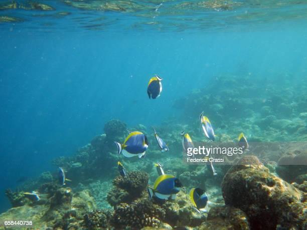 Blue Tang Fish or Powder Blue Surgeonfish (Acanthurus Leucosternon)