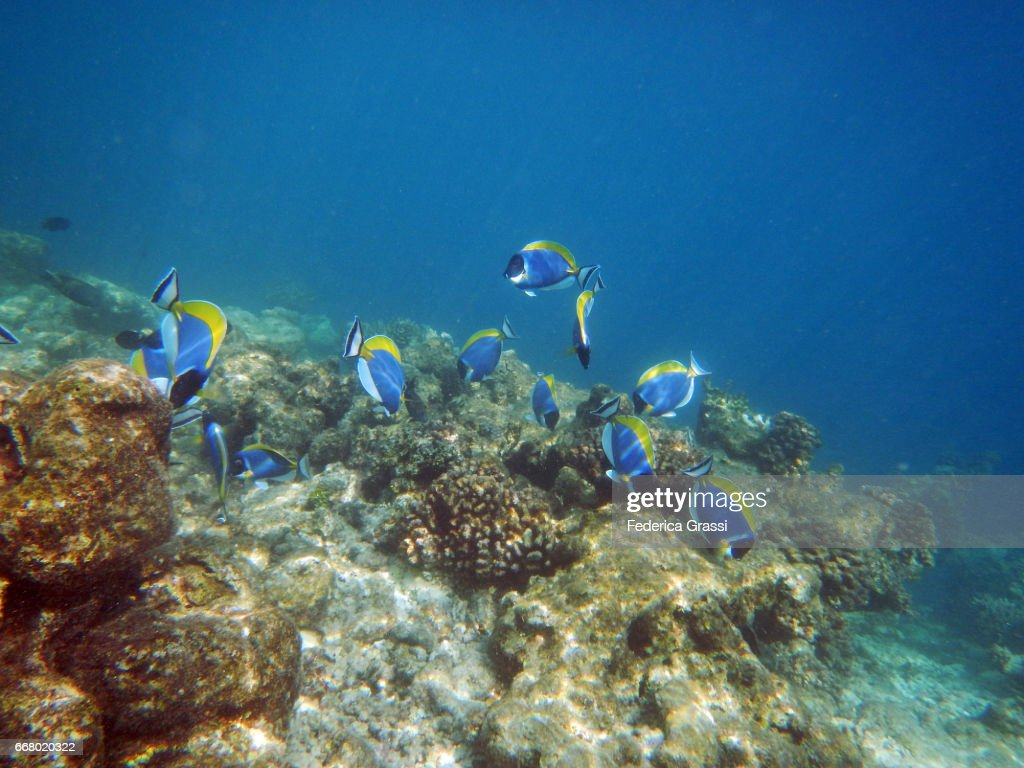 Blue tang fish or powder blue surgeonfish stock photo for Blue tang fish price