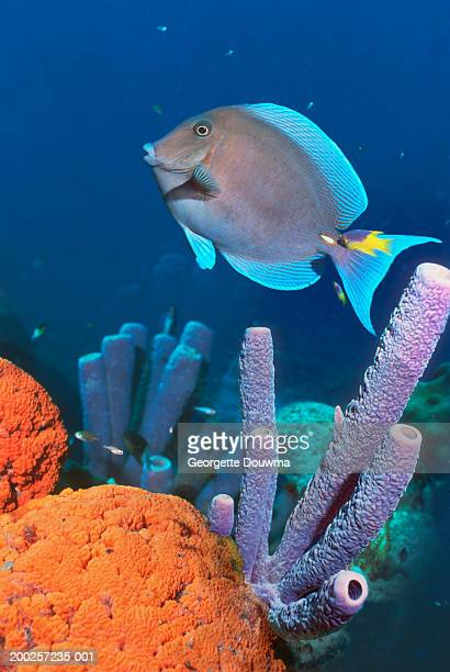 Blue tang fish (Acanthurus coeruleus) (digital composite)