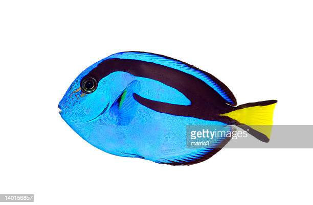 Blue tang fish with black markings and a yellow tail