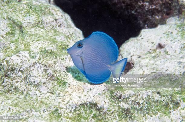 Blue Tang(juvenile)