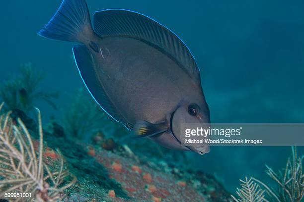 A Blue Tang Surgeonfish, Key Largo, Florida.
