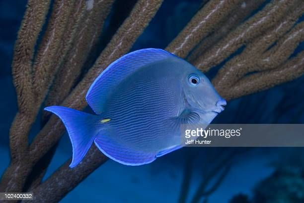 Blue Tang (fish) swimming on tropical coral reef