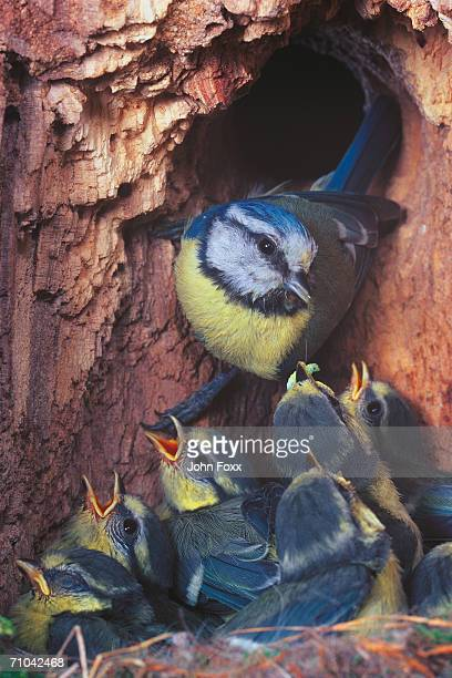 blue tit at nest