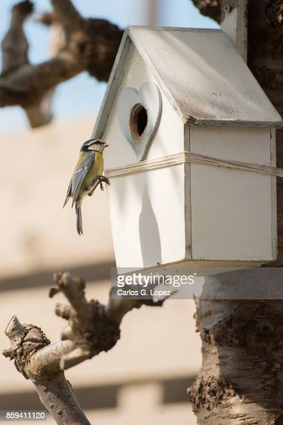 Blue tit bird hopping from tree branch to house-shaped nest