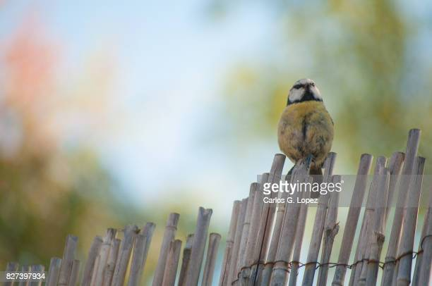 Blue tit bird perched on top of bamboo fence
