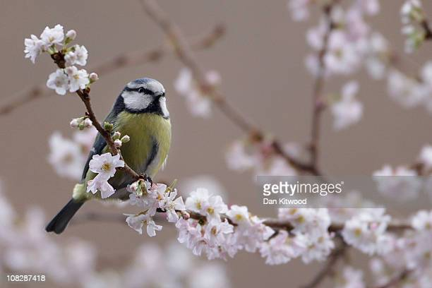 Blue Tit collects early blossom from a tree in Mayfair on January 24 2011 in London England Many trees around the UK are coming into blossom as...