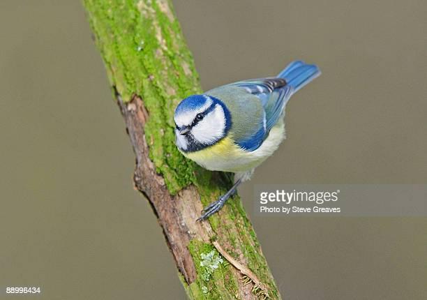 Blue Tit, Cyanistes caeruleus, on a Branch