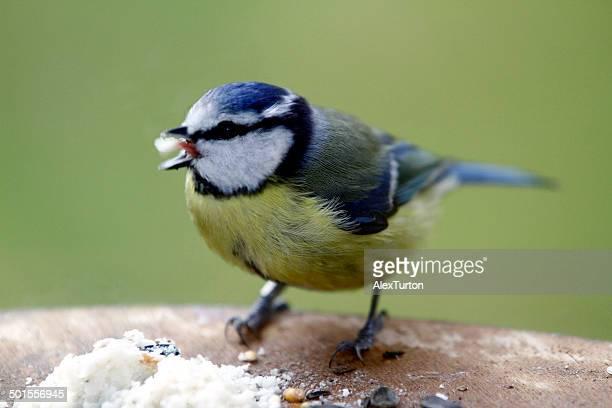 Blue tit eating bird food on table