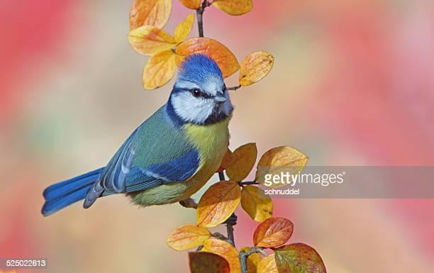 Blue tit in autumn