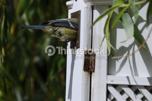 blue tit parus caeruleus on nest box in weeping willow stock foto thinkstock. Black Bedroom Furniture Sets. Home Design Ideas