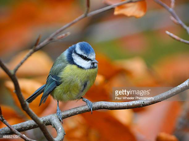 Blue Tit perched on a Beech branch