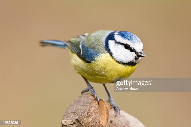 Blue Tit (Cyanistes caeruleus)