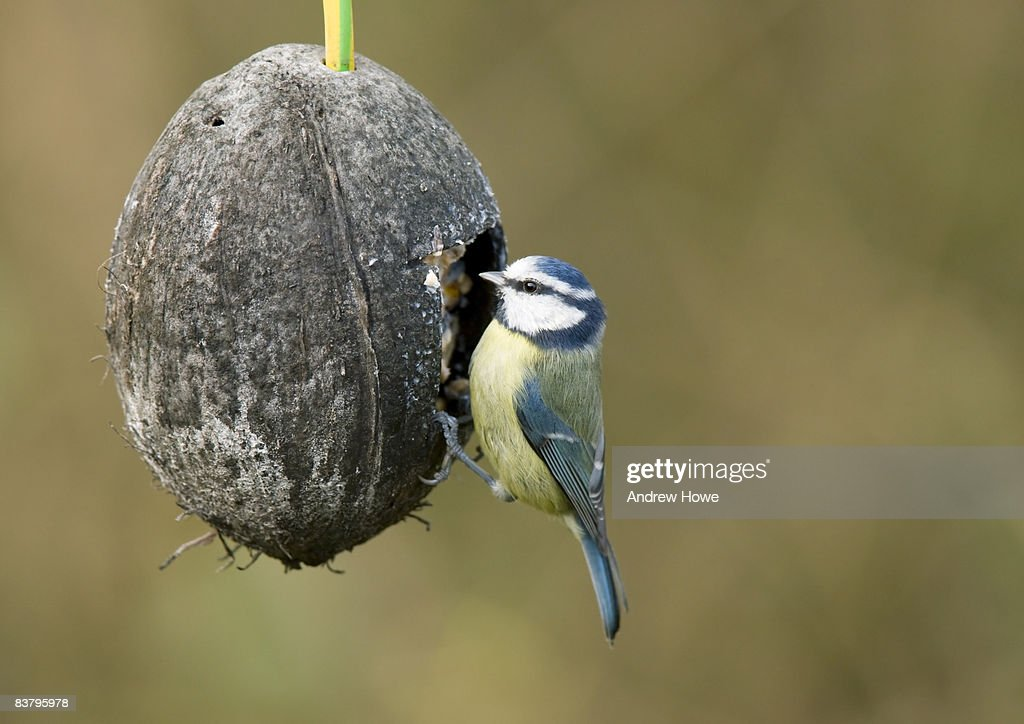 Blue Tit (Cyanistes caeruleus) : Stock Photo