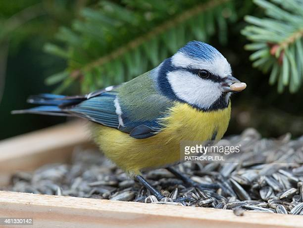A blue tit sits on a bird table in a garden in Sieversdorf eastern Germany on January 11 2015 AFP PHOTO / DPA / PATRICK PLEUL GERMANY OUT